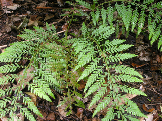 Polystichum setiferum Lineare Group