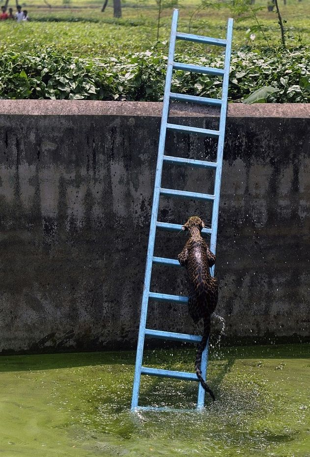 Leopardo rescatado con una escalera en la India