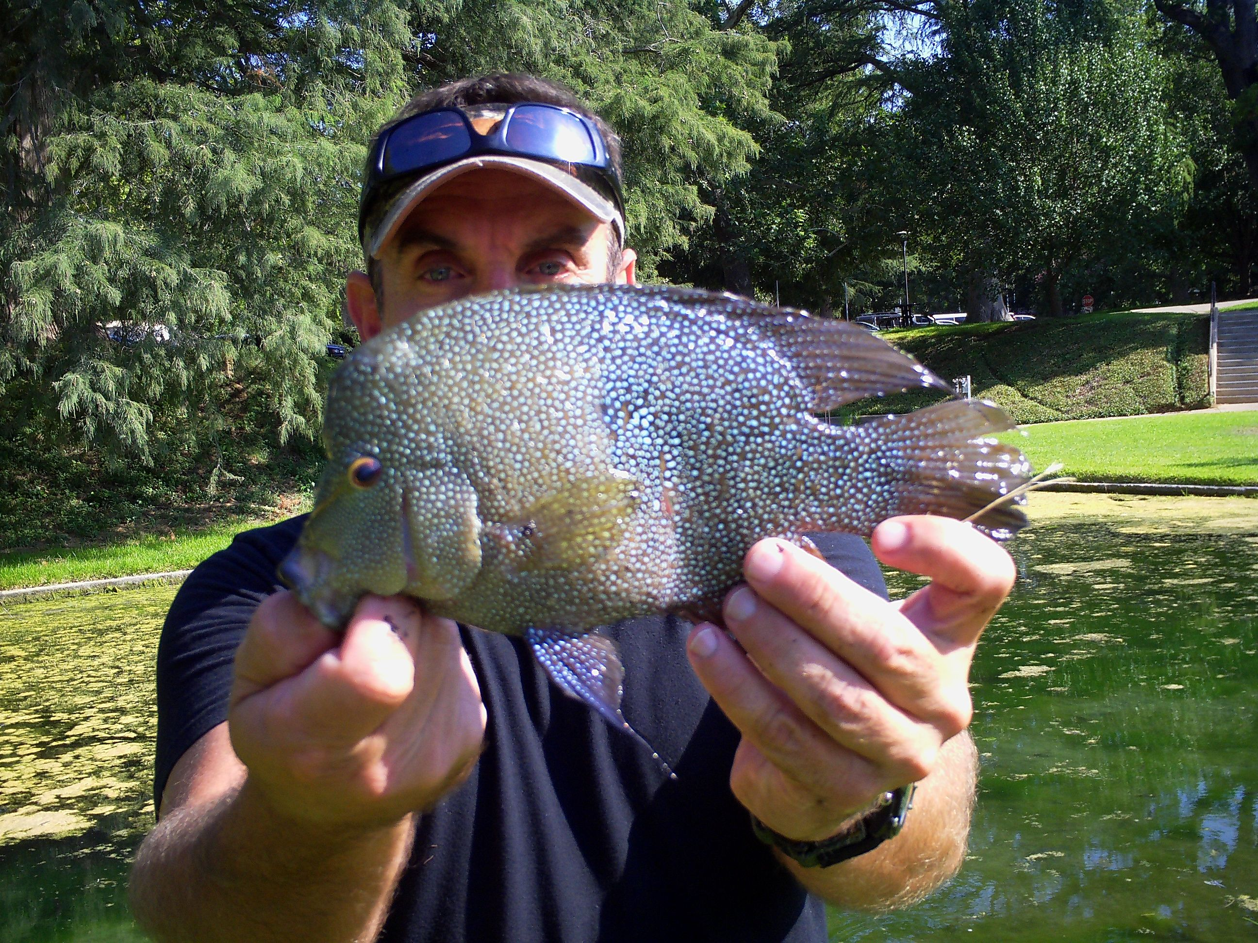 Great san marcos action bluegill sunfish texas for Lake san marcos fishing